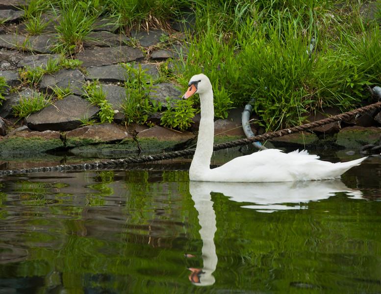 Swan on the Meine