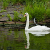Swan on the Meine
