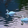 Swans on the Meine