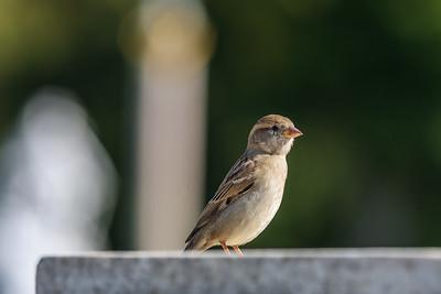 Feldsperling (Passer montanus / Eurasian tree sparrow / Feldspatz)