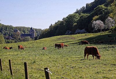 cows-grazing-castle