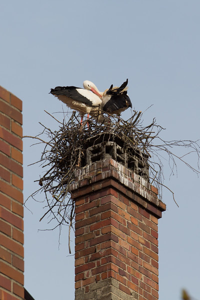 Storks building their nest above the market place in Lauf