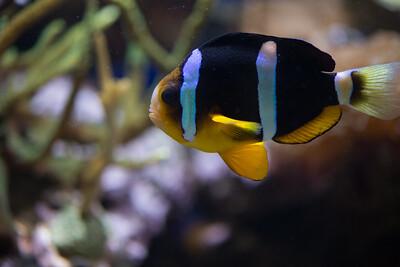 Clark's anemonefisch