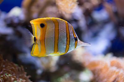 Copperband butterflyfisch