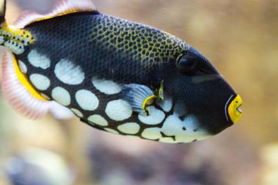 Clown triggerfish haben kräftige Kiefer, sind mit den Kugelfischen verwand. So ist es ihnen möglich, die Schalen von Muscheln und Krebsen aufzubeißen. Mit einem Trick können sie sogar Seeigel fressen. Sie blasen sie erst mit einem kräftigen Wasserschwal aus dem Mund um und fressen die Seeigel dann von der ungeschützten Seite her auf.