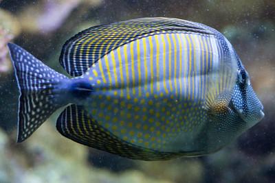Red Sea sailfin tang