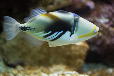 Lagoon triggerfish legen ihren Laich am Boden ab. Anschließend übernimmt das Männchen das Bewachen der Eier und Jungfische. Ihren Namen verdanken sie einer besonderen Eigenschaft: sie können sich mit einem fixierbaren Rückenstachel zwischen Korallen und Felsen als Schutz vor Fressfeinden festklammern.