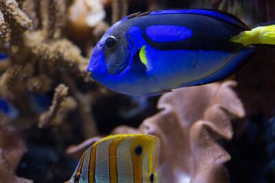 Palette surgeonfish