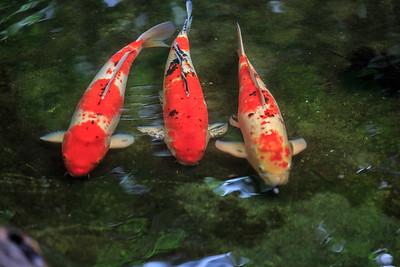 Koi Herkunftsland: Japan Mit Koi werden farbige Zuchtkarpfen bezeichnet. Sie wurden vor etwa 1000 Jahren zum ersten Mal urkundlich erwähnt. Sie entstanden in Japan in der Gebend von Tamakoshi: Bauern hielten in ihren überschwemmten Reisfeldern Karpfen zur Verbesserung der Ernährung. Unter den sonst schwarzen Tieren schwamm ein roter Karpfen. Durch Züchtung unterscheidet man heute mindestens 100 Varianten, deren Farber von Weiß, Rot, Schwarz, Gelb, Oange, Blau bis metallisch, Gold und Silber reichen. Dabei gibt es ein-, zwe- und dreifarbige Kois. In der Größe passen sie sich der Teichumgebung an. Sie können etwa 80 cm lang werden. Eine Lebenserwartung von 50 bis 60 Jahren ist nicht ungewöhnlich.