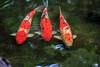 Koi<br /> Herkunftsland: Japan<br /> Mit Koi werden farbige Zuchtkarpfen bezeichnet. Sie wurden vor etwa 1000 Jahren zum ersten Mal urkundlich erwähnt. Sie entstanden in Japan in der Gebend von Tamakoshi: Bauern hielten in ihren überschwemmten Reisfeldern Karpfen zur Verbesserung der Ernährung. Unter den sonst schwarzen Tieren schwamm ein roter Karpfen. Durch Züchtung unterscheidet man heute mindestens 100 Varianten, deren Farber von Weiß, Rot, Schwarz, Gelb, Oange, Blau bis metallisch, Gold und Silber reichen. Dabei gibt es ein-, zwe- und dreifarbige Kois. In der Größe passen sie sich der Teichumgebung an. Sie können etwa 80 cm lang werden. Eine Lebenserwartung von 50 bis 60 Jahren ist nicht ungewöhnlich.