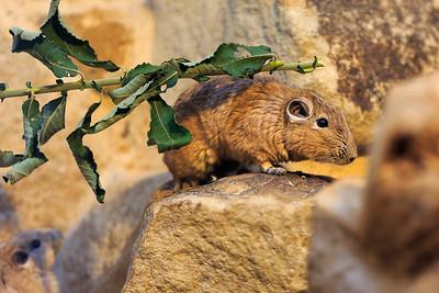 """Gundi Lebensraum und Aussehen Gundis sind Nagetiere, die in den Halbwüsten und Wüsten Afrikas nördlich des Äquators leben. Dabei nutzen sie bis zu 2300 m hohe Felsregionen und spaltenreiches Gestein als Unterschlupf. Sie sind gedrungene Tiere mit einem recht dicken Kopf und kleinen runden Ohren. Das sandfarbene Fell ist weich und dicht und schützt gleichermaßen vor kalten Nächten und heißen windigen Tagen in der Wüste. Die spitzen, kräftigen Krallen sind ideal, um beim Erklimmen von Felsen kleinste Unebenheiten zu nutze. Zur Fellpflege sind sie jedoch ungeeignet. Diese Rolle übernehmen die so genannten Borstenkämme an den Innenzehen der Hinterfüße. Auch die Ohren tragen Borstensäume, die den Gehörgang vor Flugsand schützen. Ihre langen Barthaare dienen als Tastorgane in den dunklen Unterschlupfen. Nahrung Gundis sind Vegetarier, sie ernähren sich z.B. von Blättern, Stengeln, Samen und Blüten von Gräsern und Krautern. Sogar die spitzen Stacheln der Akazien sind Bestandteil ihres Speiseplans. Futtervorräte oder Fettspeicher werden nie angelegt; Wasser wird aus der Nahrung gewonnen. Hätten Sie es gewusst? Aufgrund der Borstenkämme an den inneren Zehen der Hinterfüße wird ».1er Gundi auch """"Kammfinger"""" genannt Lebensweise Die nordafrikanischen Nager sind tagaktiv und lieben die Wärme, wobei sie über die Mittagszeit hinweg ruhen. An heißen und sonnigen Tagen verlassen sie schon bei Sonnenaufgang ihre Felsunterschlupfe, um dann auf ebenen Steinen flach ausgestreckt ausgiebige Sonnenbäder zu nehmen. Sie suchen ausschließlich natürliche Höhlen im Fels und Gestein auf und graben niemals eigene Baue. Gundis leben in kleinen Familiengruppen, in denen ein enger sozialer Zusammenhalt herrscht. Durch ihren gut ausgeprägten Geruchssinn erhalten Gundis an gemeinschatftlich genutzten Kotstellen """"Informationen"""" über alle weiteren Gruppenmitglieder."""