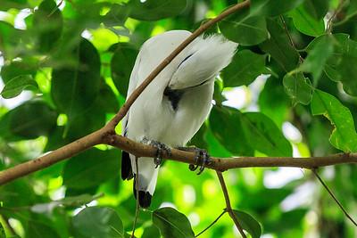 Balistar Verbreitung: nur auf der indonesischen Insel Bali Dieser prachtvolle Vogel lebt an den Rändern des dichten Regenwalds und in überfluteten Waldgebieten der Insel Bali. In der Brutzeit zwischen Oktober und November hält sich der Balistar in der Savanne auf. Sein Nest errichtet er itn verlassenen Bruthöhlen anderer Vögel, bevorzugt in hohen Akazien. Derzeit leben wahrscheinlich weniger als 20 Exemplare im Freiland auf Bali.