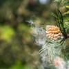 Kiefer-Bluehten-Pollen