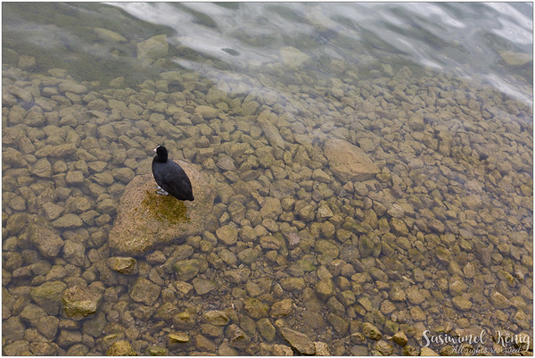 Alone in the zone, coot