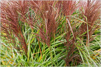 Maiden Grass with color contrast