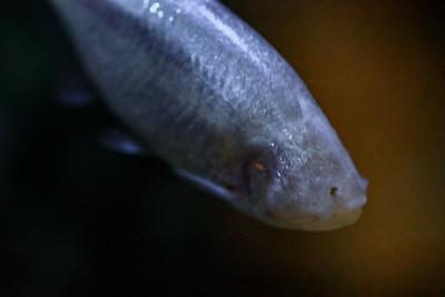 Blinder Höhlensalmler (Astyanax fasciatus mexicanus) Vorkommen : Mexiko in Höhlensystemen der Provinz San Luis Potosi, Nahrung: Ailesfresser. Frisst selbst Fledermauskot Besonderes: Höhlensalmler haben als Jungfische noch funktionsfähige Augen, die sich mit zunehmenden Alter immer weiter zurückbilden. Die Haut besitzt keine Farbpigmente, daher haben die Fische eine fleischfarbene Färbung. Zur Nahrungssuche und Orientierung benutzen sie ihren Geruchs¬und Tastsinn, sowie ihr Seitenlinienorgan. Die Weibchen sind fülliger und werden etwas größer. Sie legen ihre Eier, lose über den Boden verstreut. Die Fischlarven schlüpfen, je nach Wassertemperatur, nach 2-3 Tagen und lassen sich leicht aufziehen. Der Blinde Höhlensalmler ist eine Höhlenform der, von Texas bis Panama weit verbreiteten Nominatform. Diese lebt in Flüssen und Seen und hat normal entwickelte Augen, sowie eine pigmentierte Haut