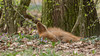 Wissenschaftl. Name Chysocyon brachyurus<br /> Ordnung Raubtiere<br /> Familie Hundeartige<br /> Größe Kopf-Rumpf bis 110 cm<br /> Gewicht bis 25 kg<br /> Fortpflanzung Tragzeit ca. 65 Tage, 2-5 Junge<br /> Verbreitung Südamerika<br /> Lebensraum Savannenlandschaften (Pampas)<br /> Nahrung kleine Wirbeltiere, Wurzeln, Früchte<br /> Bestand gefährdet