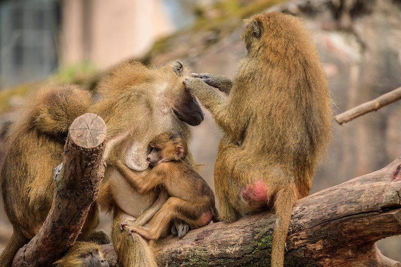 Wissenschaftl. Name Papio papio<br /> Ordnung Primaten<br /> Familie Meerkatzen<br /> Größe Kopf-Rumpf 50-85 cm<br /> Gewicht ? bis 25 kg, ? bis 15 kg<br /> Fortpflanzung Tragzeit ca. 6 Monate<br /> Verbreitung Westafrika<br /> Lebensraum Savanne<br /> Nahrung Gras, Samen, Wurzeln, Früchte, auch Tiere bis zur Größe kleiner Antilopen<br /> Bestand nicht gefährdet