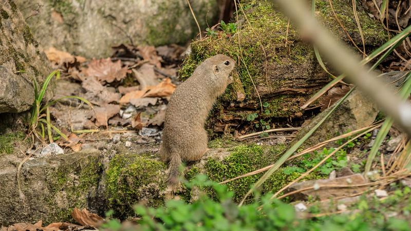 Vom Aussterbern bedroht: Ziesel (engl: European Ground Squirrel)