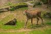 """Männchen oder Weibchen?<br /> Die Männchen tragen Hörner und haben eine stark ausgeprägte Nacken-/Halsmähne Auf Grund der blau-grauen Fellfärbung wird die Nilgau-Antilope häufig als """"Biaubock"""" bezeichnet. Die kleineren, hornlosen Weibchen besitzen ein hellbraunes Fell.<br /> Kräftemessen auf Knien<br /> Die Weibchen leben in Haremsgruppen von bis zu 20 Tieren. Die Männchen kämpfen zur Paarungszeit um die Gunst des Harems. Dabei knien die Rivalen voreinander. ln dieser Haltung stoßen sie mit den Hörnern gegeneinander oder versuchen sich im Halskampf so lange niederzudrücken, bis der Unterlegene aufgibt.<br /> Wissenschaftl. Name Boselaphus tragocamelus<br /> Ordnung Paarhufer<br /> Familie Hornträger<br /> Größe bis 150 cm<br /> Gewicht ♂ bis 250 kg, ♀ bis 130 kg<br /> Fortpflanzung Tragzeit 8 Monate, 1 Jungtier<br /> Verbreitung Indien<br /> Lebensraum Wald, Savanne<br /> Nahrung Gräser, Kräuter, Blätter, Früchte<br /> Bestand gefährdet"""