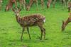 Dybowski-Hirsch<br /> Dybowski's Deer<br /> Art Ordnung Familie Groß« Gewicht Fortpflanzungde tos nippon dybowski Paarhufer Hirsche
