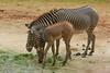 Wieviel Grevys gibt es noch?<br /> Durch Zerstörung des Lebensraumes und Wilderei wurde der Bestand der Grevyzebras im Fre iland innerhalb von 25 Jahren von über 20 000 Tieren auf weit unter 2000 verringert.<br /> Streifzüge ohne Herde<br /> Anders als das Steppenzebra bildet das Grevyzebra keine wirklichen<br /> Herd en. Enge soziale Bindungen gibt es nur zwischen Stuten und ihrem<br /> Nachwuchs. Ältere Hengste leben oft einzelgängerisch und unterhalten Territorien, die sie gegen gleichaltrige Geschlechtsgenossen verteidigen.<br /> Wissenschaftl. Name Equus grevyi<br /> Ordnung Unpaarhufer<br /> Familie Pferde<br /> Größe Kopf-Rumpf bis 2,6 m, Schulterhöhe bis 1,6 m<br /> Gewicht bis 430 kg, größte wildlebende Einhuferart<br /> Fortpflanzung Tragzeit 13 Monate, meist 1 Jungtier<br /> Verbreitung Ostafrika<br /> Lebensraum Halbwüsten, Trockensavanne<br /> Nahrung Gräser<br /> Bestand stark gefährdet