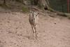 Wissenschaftl. Name Gazella subgutturosa<br /> Ordnung Paarhufer<br /> Familie Hornträger<br /> Größe bis 120 cm<br /> Gewicht bis 45 kg<br /> Fortpflanzung Tragzeit 6 Monate, 1-2 Jungtiere<br /> Verbreitung Asien<br /> Lebensraum Trockensteppe<br /> Nahrung Gräser, Kräuter, Laub<br /> Bestand stark gefährdet
