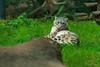 Zu jedem Anlass ideal gekleidet<br /> Der auch als Irbis bekannte Schneeleopard lebt im Hochgebirge. An diesen Lebensraum ist er perfekt angepasst. Das dichte Feil wirkt isolierend und kann bis zu 12 cm lang werden. So bereiten ihm auch die starken Temperaturschwankungen<br /> von -40C im Winter und +40C im Sommer keinerlei Probleme.<br /> Weltrekordhalter im Weitsprung<br /> Der Leopard kann bis zu 16 Meter weit springen. Diese Gabe setzt er auch bei der Jagd ein. Nachdem er sich an seine Beute herangeschlichen hat, ergreift er sie gezielt in einem raschen Sprung. Der lange Schwanz hilft ihm, das Gleichgewicht zu halten.<br /> Wissenschaftl. Name Uncia uncia<br /> Ordnung Raubtiere<br /> Familie Katzen<br /> Größe Kopf-Rumpf 100-150 cm<br /> Gewicht ♂ ca. 50 kg, ♀ ca. 37 kg<br /> Fortpflanzung Tragzeit ca. 100 Tage, 2-4 Jungtiere<br /> Verbreitung Zentralasien<br /> Lebensraum Hochlagen<br /> Nahrung Steinböcke, Schafe, Murmeltiere, Hühnervögel<br /> Bestand gefährdet