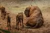 Groß, aber nicht schwerfällig!<br /> Der Wisent ist das größte Landsäugetier Europas. Trotz ihrer eindrucksvollen Erscheinung sind Wisente gute Schwimmer und schnelle Läufer. Bei<br /> drohender Gefahr überrennen sie den Angreifer oder attackieren ihn mit den Hörnern.<br /> Dem Aussterben knapp entgangen!<br /> Der engste Verwandte des nordamerikanischen Bisons war einst weit verbreitet, wurde in der Wildbahn jedoch vollständig ausgerottet. Nachzuchten aus Zoobeständen dienen der Arterhaltung und werden zum Teil ausgewildert<br /> Wissenschaftl. Name Bison bonasus<br /> Ordnung Paarhufer<br /> Familie Hornträger<br /> Größe ♂ bis 1,9 m, ♀ bis 1,7 m<br /> Gewicht ♂ bis 800 kg, ♀ bis 500 kg<br /> Fortpflanzung Tragzeit 265 Tage, meist 1 Jungtier<br /> Verbreitung Polen<br /> Lebensraum bewaldete Ebenen<br /> Nahrung Gräser, Kräuter, Rinde, Blätter<br /> Bestand gefährdet