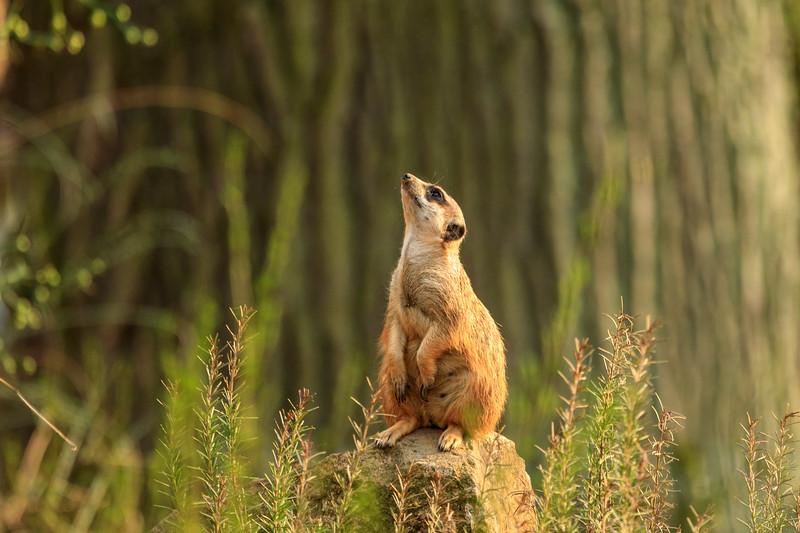 Wissenschaftl. Name Suricata suricatta<br /> Ordnung Raubtiere<br /> Familie Mangusten<br /> Größe 24,5 – 29 cm<br /> Gewicht 700 – 750 g<br /> Fortpflanzung Tragezeit 77 Tage; Wurfgröße 1 - 4<br /> Verbreitung Südafrika<br /> Lebensraum Savanne, Halbwüsten<br /> Nahrung Früchte , vorwiegend Kleintiere<br /> Bestand nicht gefährdet<br /> Lebensdauer bis zu 14 Jahre
