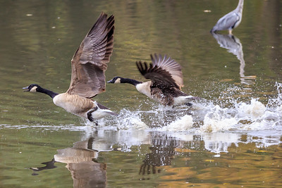 2 Canada Geese starting