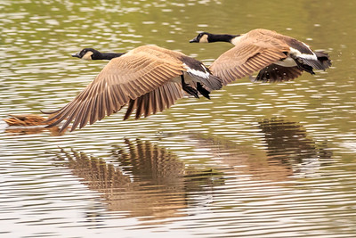 Pair of Canada Geese at the water start