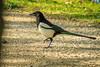 Eurasian Magpie, Dutzendteich