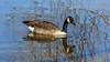 Canada goose, Dutzendteich,