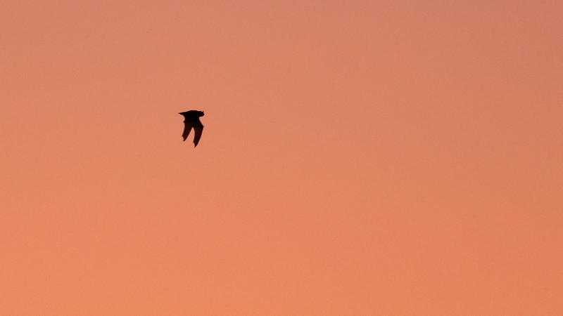 Fledermaus in der Dämmerung am Dutzendteich