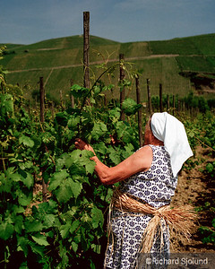 Germany vineyard Woman Tying Grapes