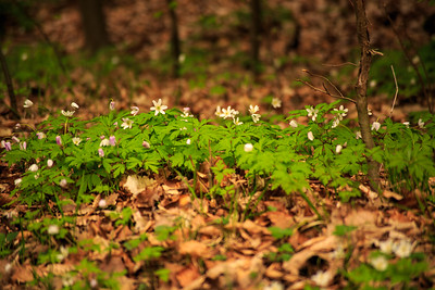 Clover in forest