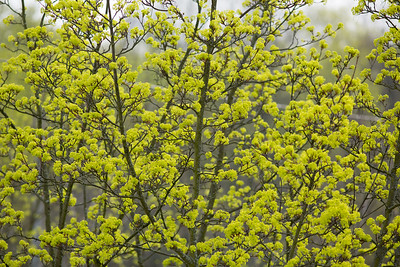 Oak trees drive their blossoms.