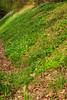 Blühende Buschwindröschen im Frühjahr