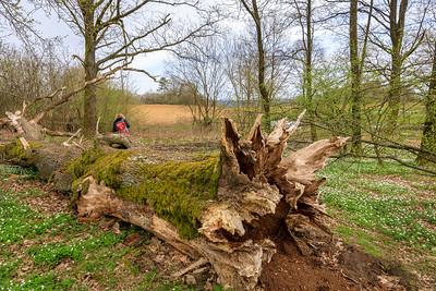 Dead old oak tree