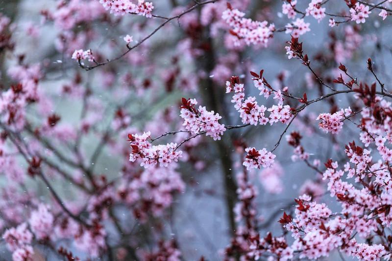 Abbruch der Blüte der Kirschpflaume durch erneuten Schnee