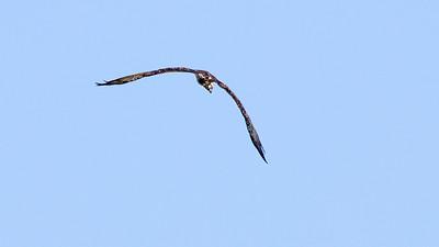 Flug des Fischadlers aim Kammersee
