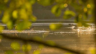 Kanadagänse am Kammerweiher, Morgendämmerung im Herbst