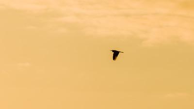Silberreiher am Kammerweiher, Morgendämmerung im Herbst