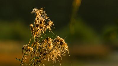 Schilf am Kammerweiher, Morgendämmerung im Herbst