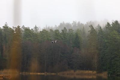 Grey heron in the Pegnitz valley