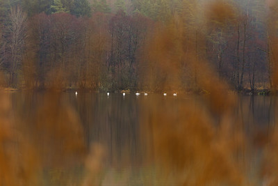 Swans on Kammerweiher lake in the Pegnitz valley