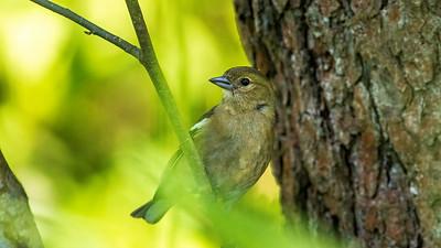 Buchfink, Weibchen, Kammerweiher