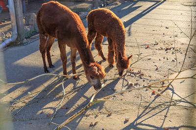 Alpaka im Wildpark Hundshaupten
