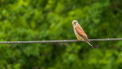Turmfalke (Falco tinnunculus / common kestrel), Männchen, auf Fahrdraht der Straßenbahn im Regen